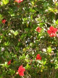hibiscustreeadisa15